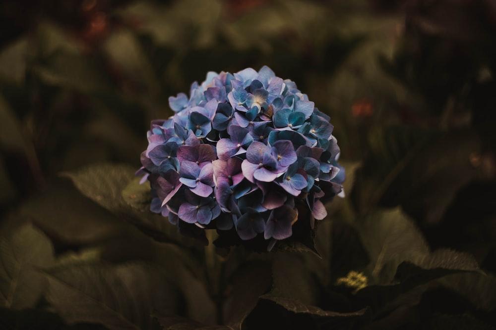 purple hydrangeas flower in selective focus photography