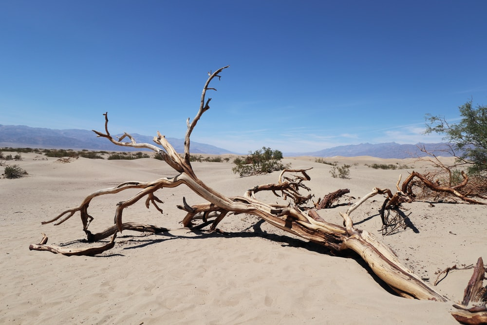 withered tree on sand