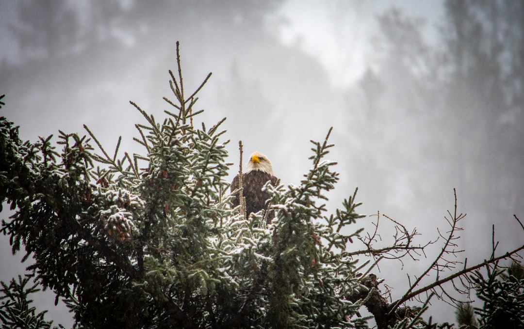 """Went out to take some """"snow photos"""" and got lucky and saw this Bald Eagle sitting on this pine tree."""