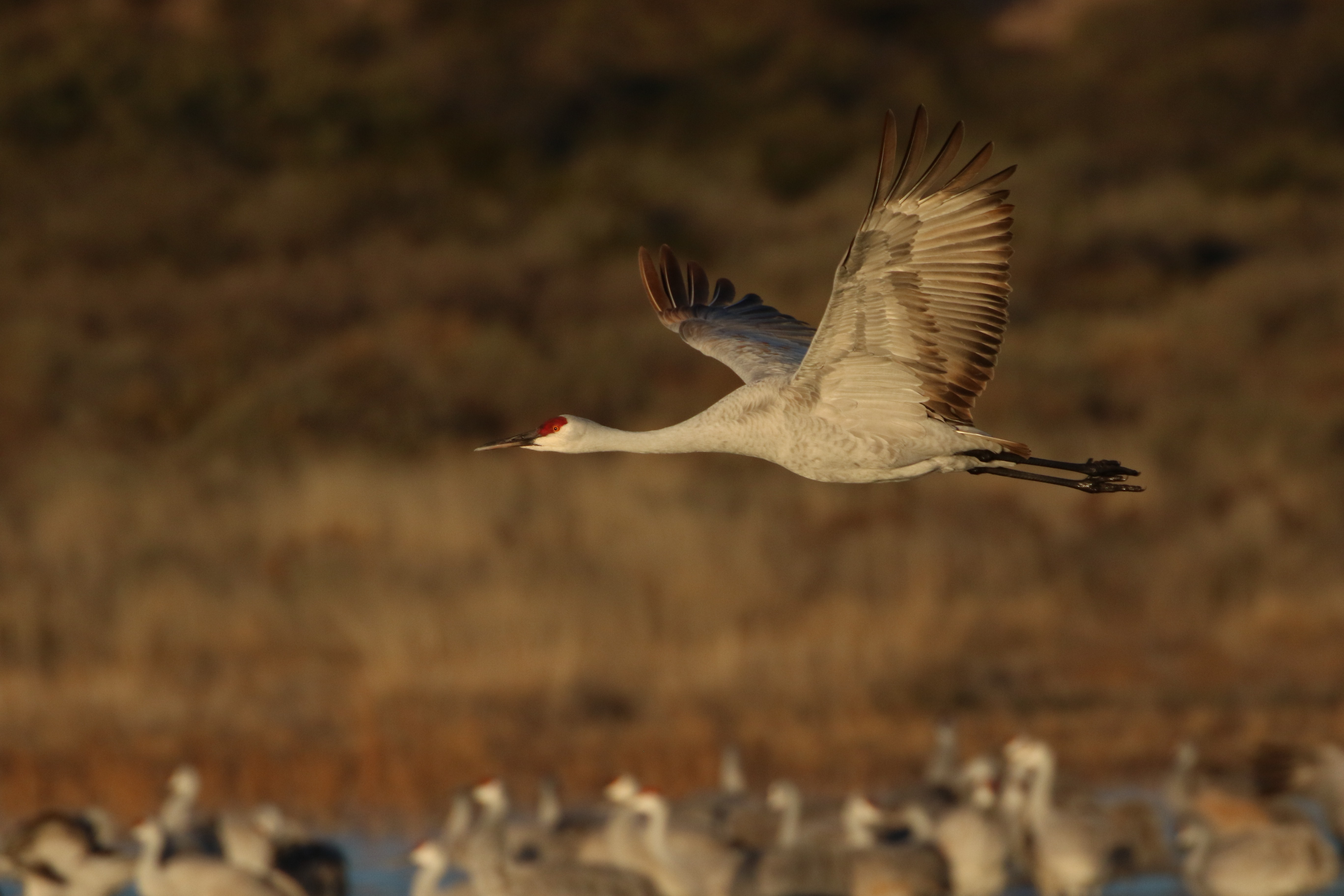 sandhill crane bird flying during daytime selective focus photography