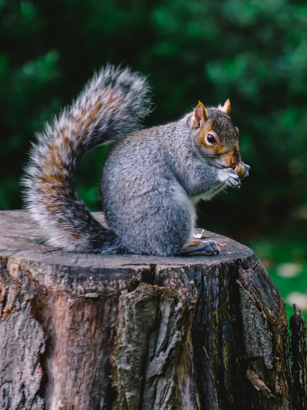 gray and brown squirrel on wood