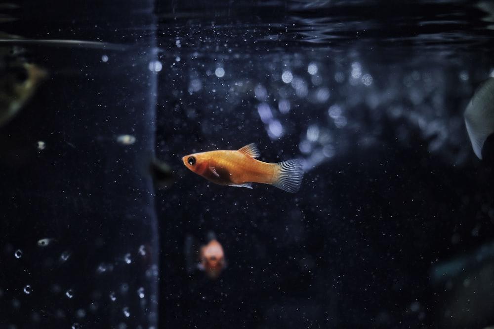 orange guppy fish
