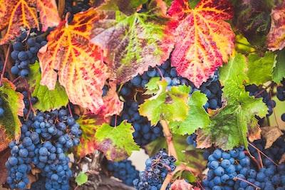4636. Bor,szőlő, borászatok