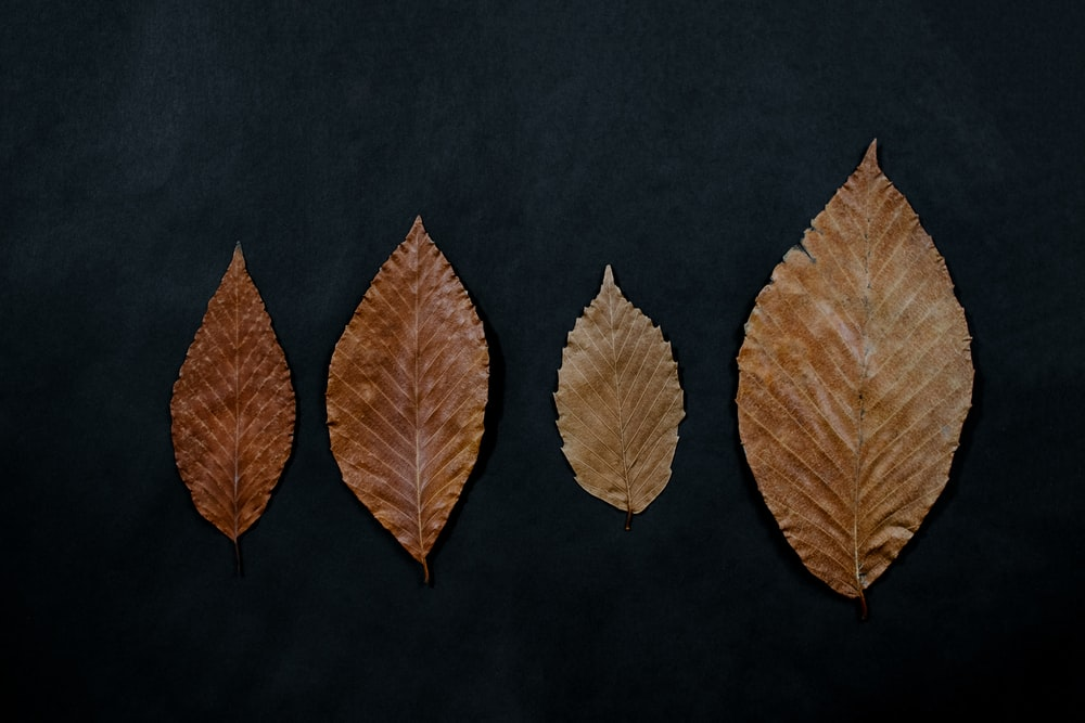 four brown ovate leaves