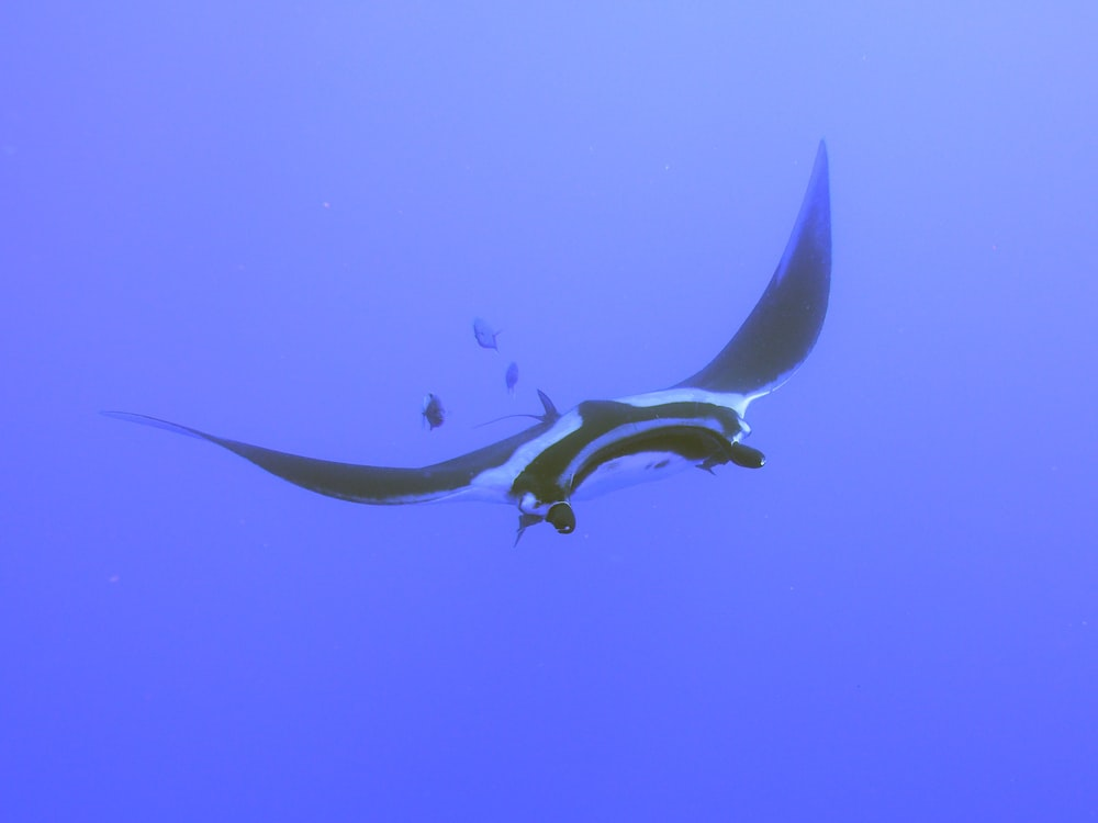 white and black manta ray