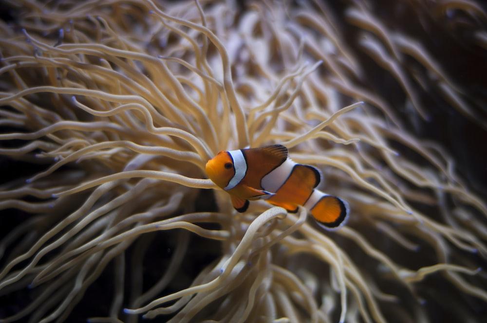 underwater photography of clown fish