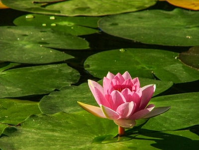 pink lotus flower in close-up photography