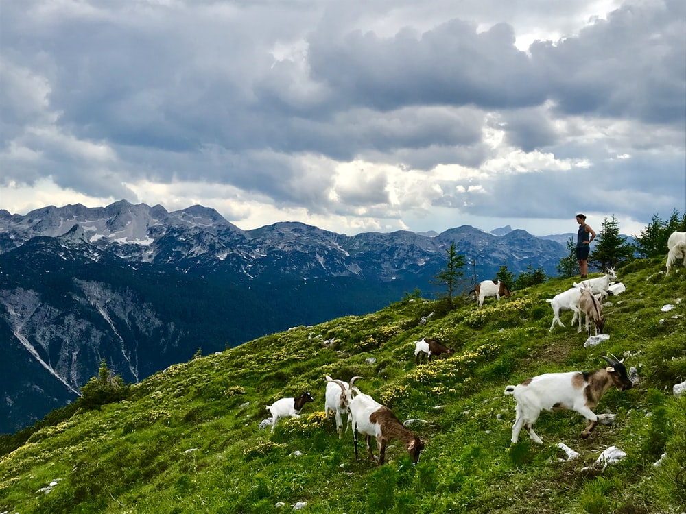 white goats on green grass