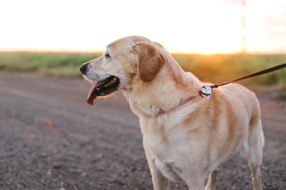 yellow Labrador Retriever standing on ground at daytime