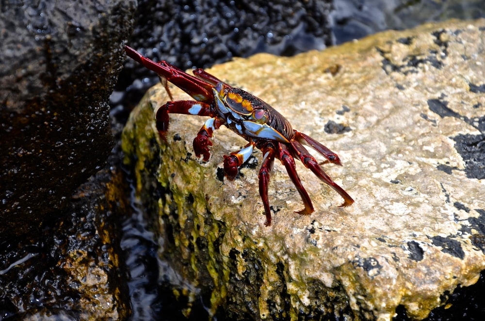 red crab on top of rock at daytime