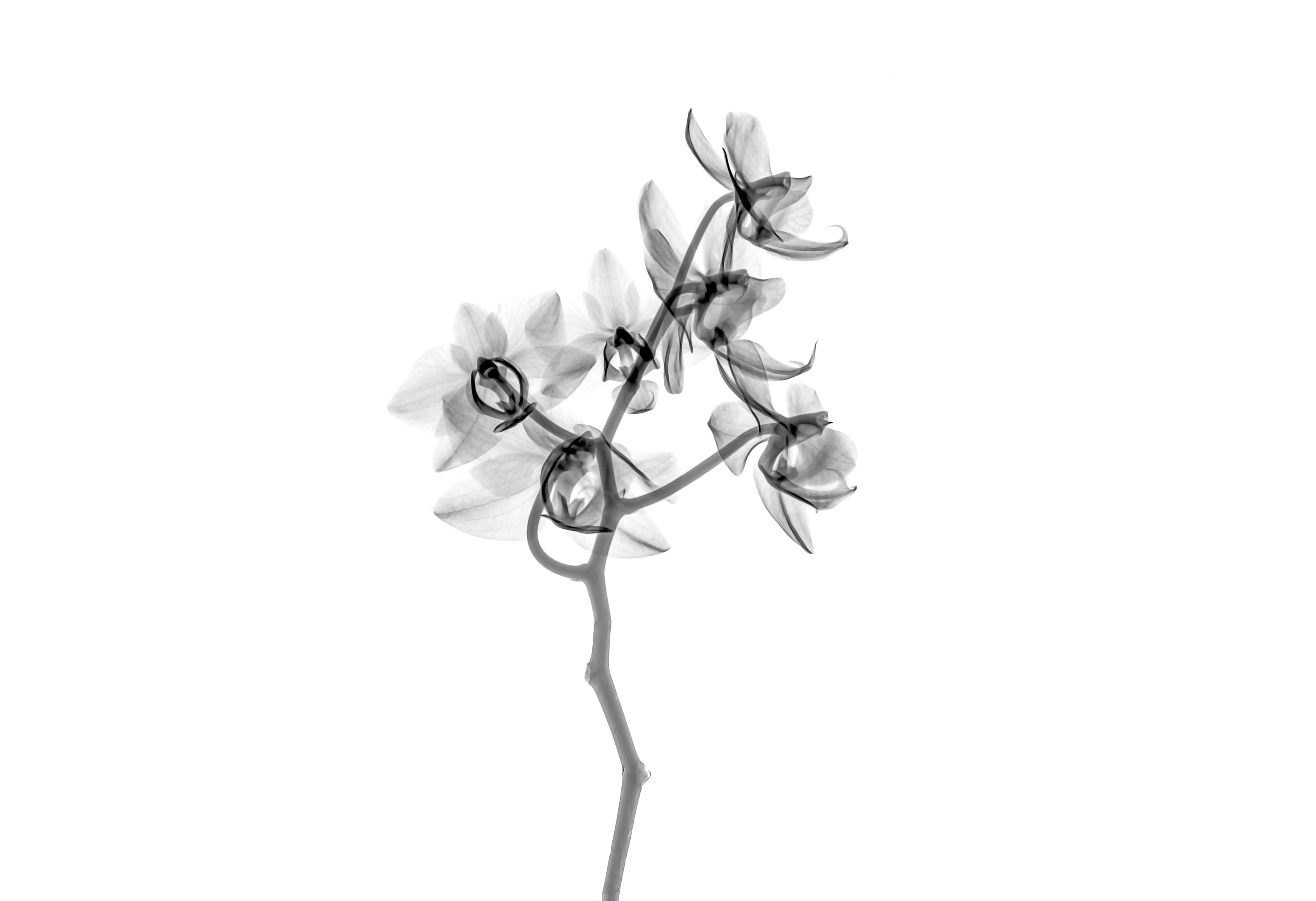 white petaled flowers clip art