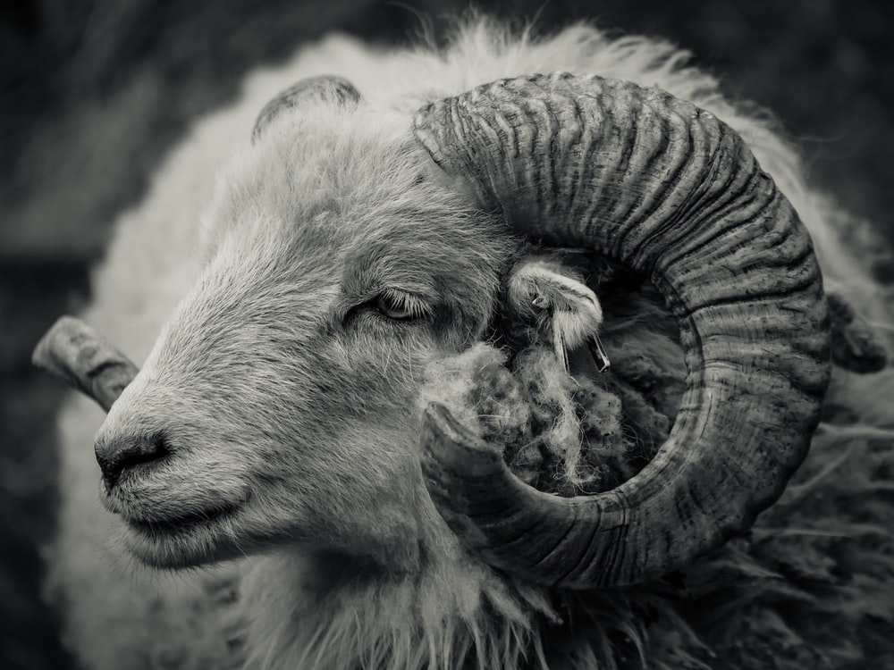 grayscale photo of ram