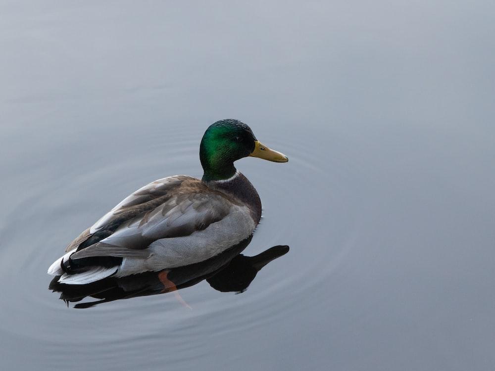 gray and green mallard duck