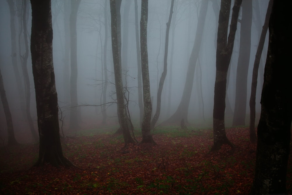 tall trees covered with fogs