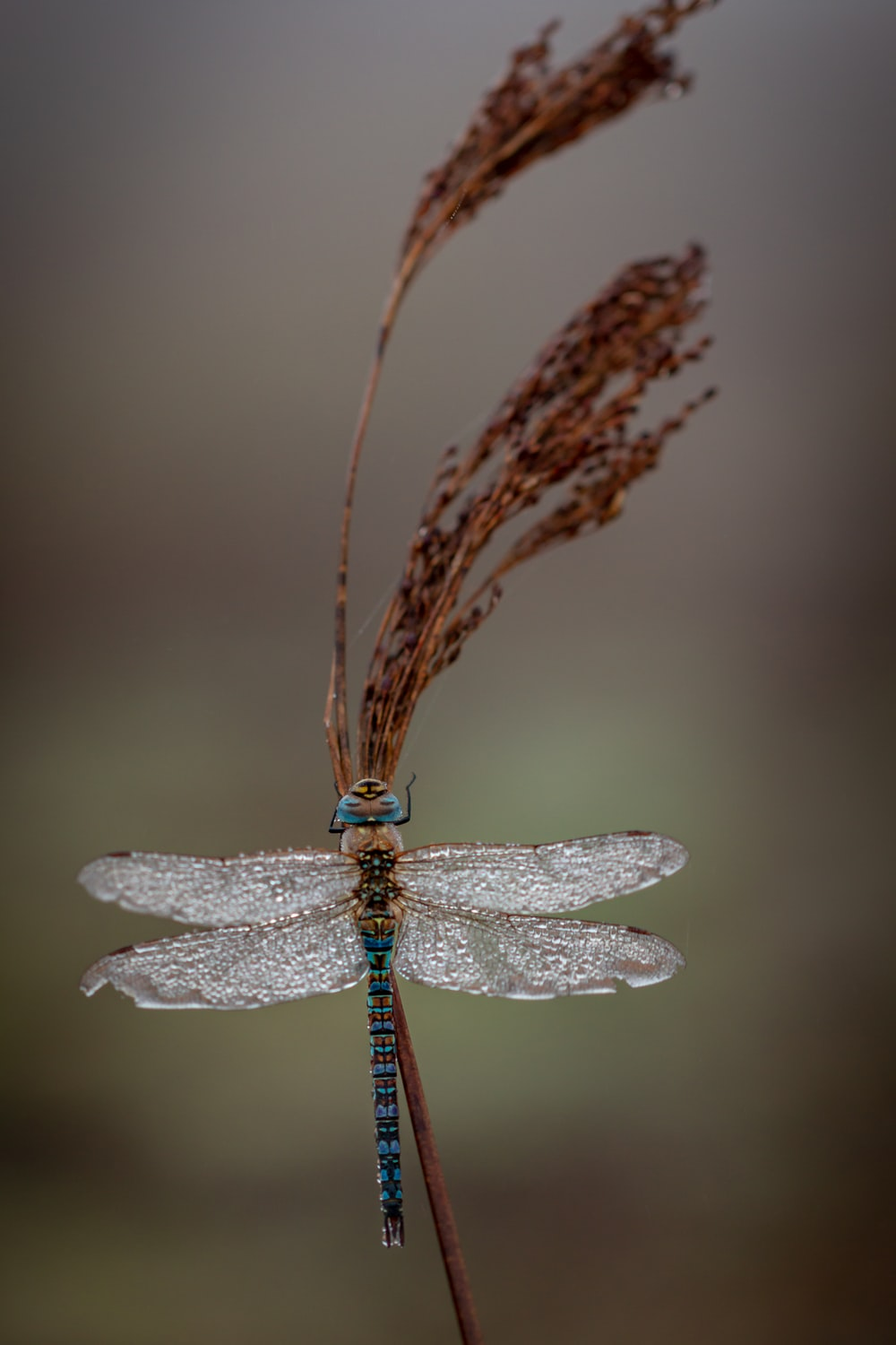 dragonfly on wheat