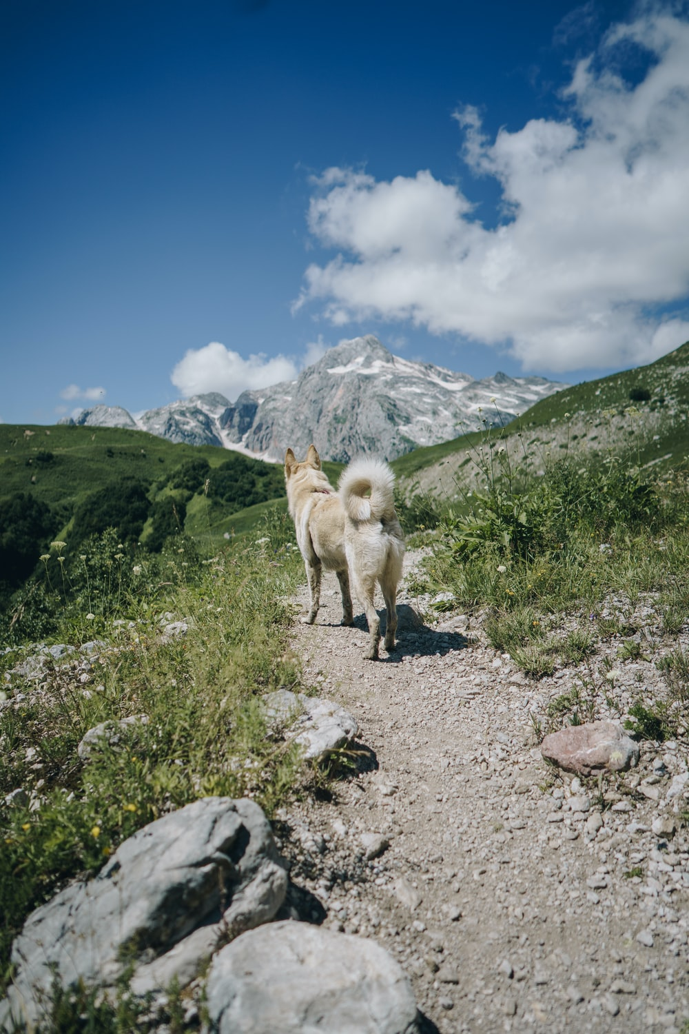 adult white Siberian husky on stone road mountain and mountains at the distance