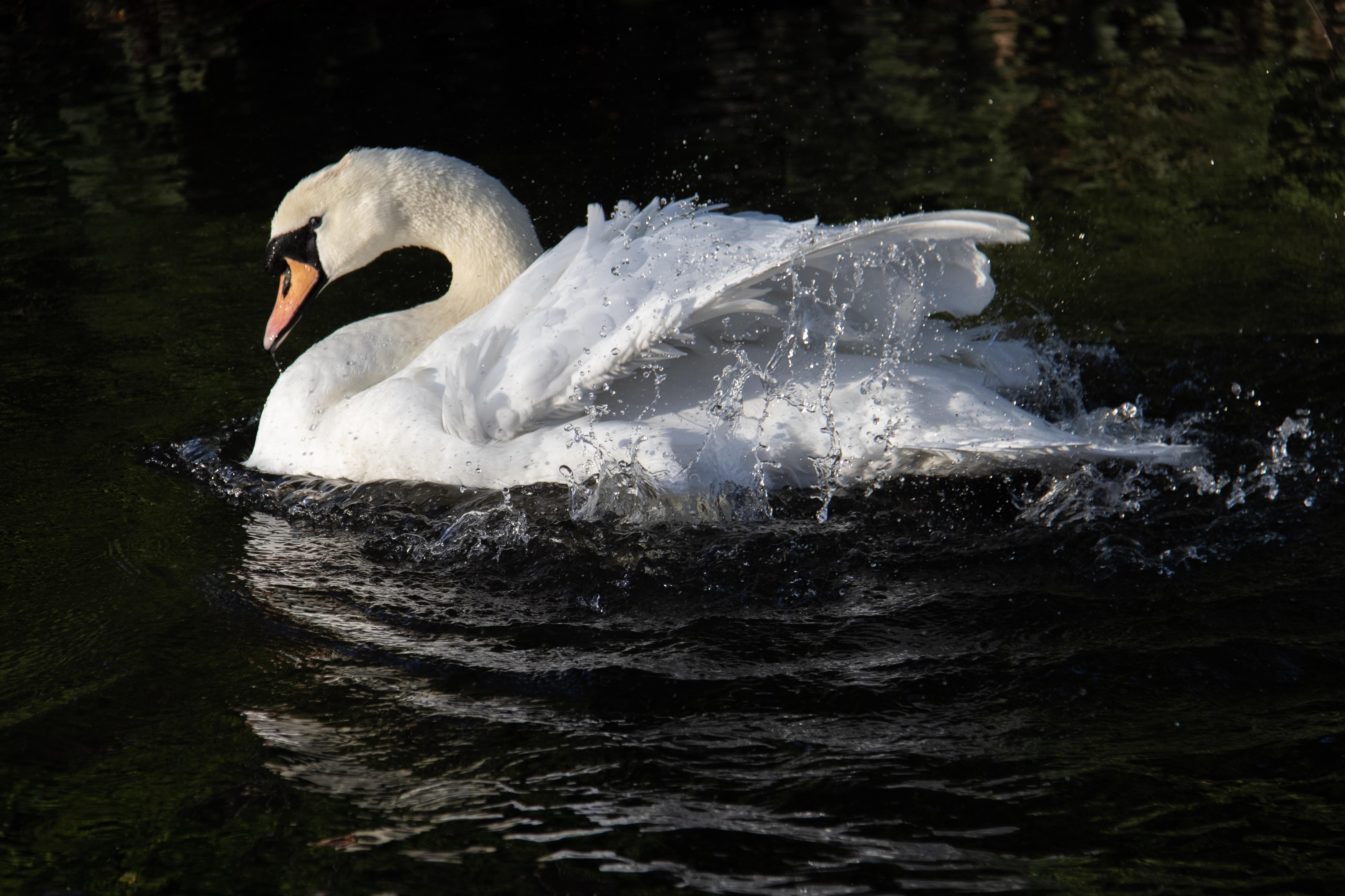 swan in water