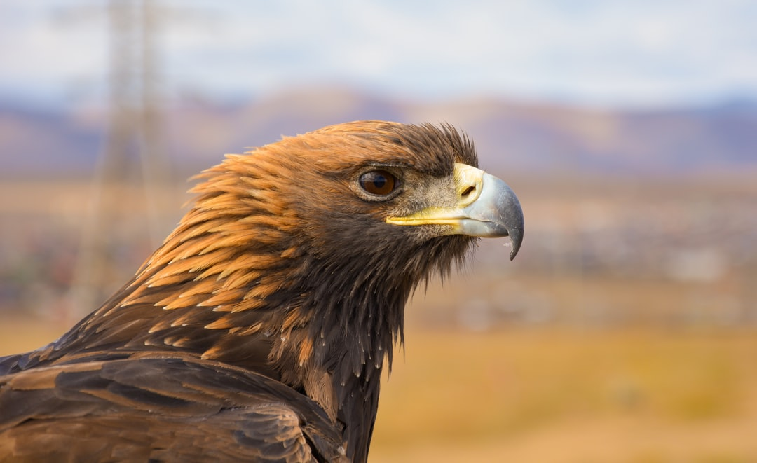 Mongolia is known for the traditional eagle hunters - i.e. hunting with this awesome bird. This particular shot was actually just by the roadside - and the eagle was perching on a stick. I thought the portrait shot would be nice with the background of the yellow coloured landscape and mountains.