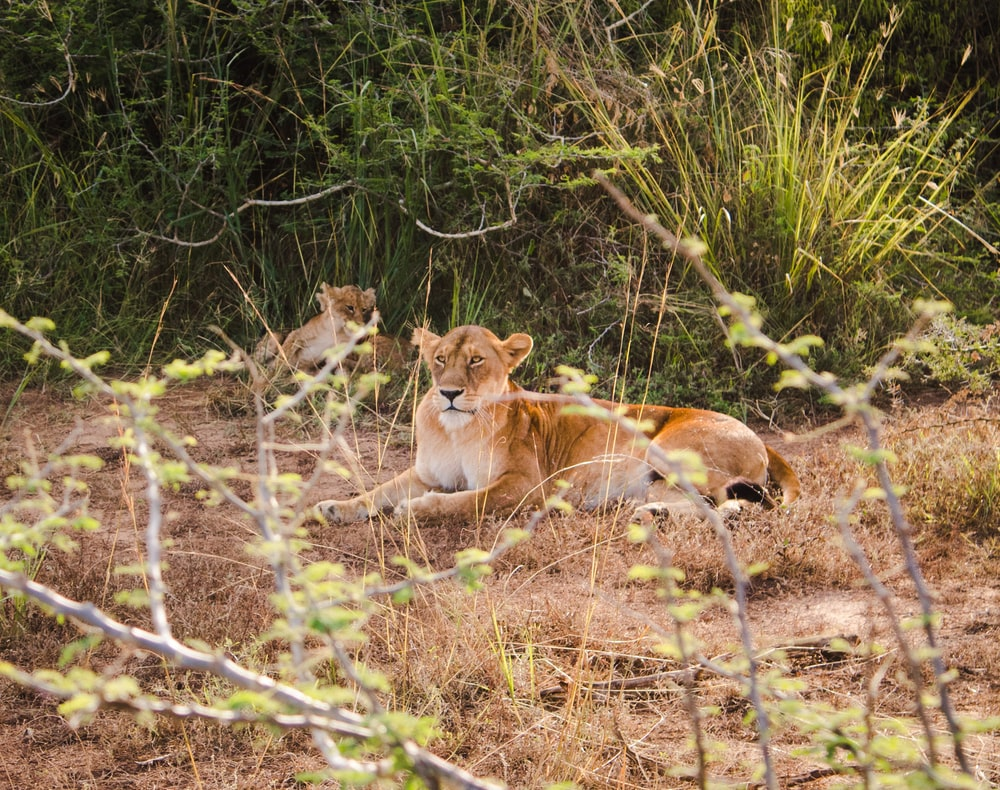 two brown lioness on forest