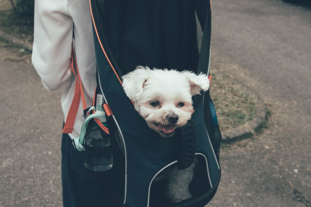 white dog in backpack