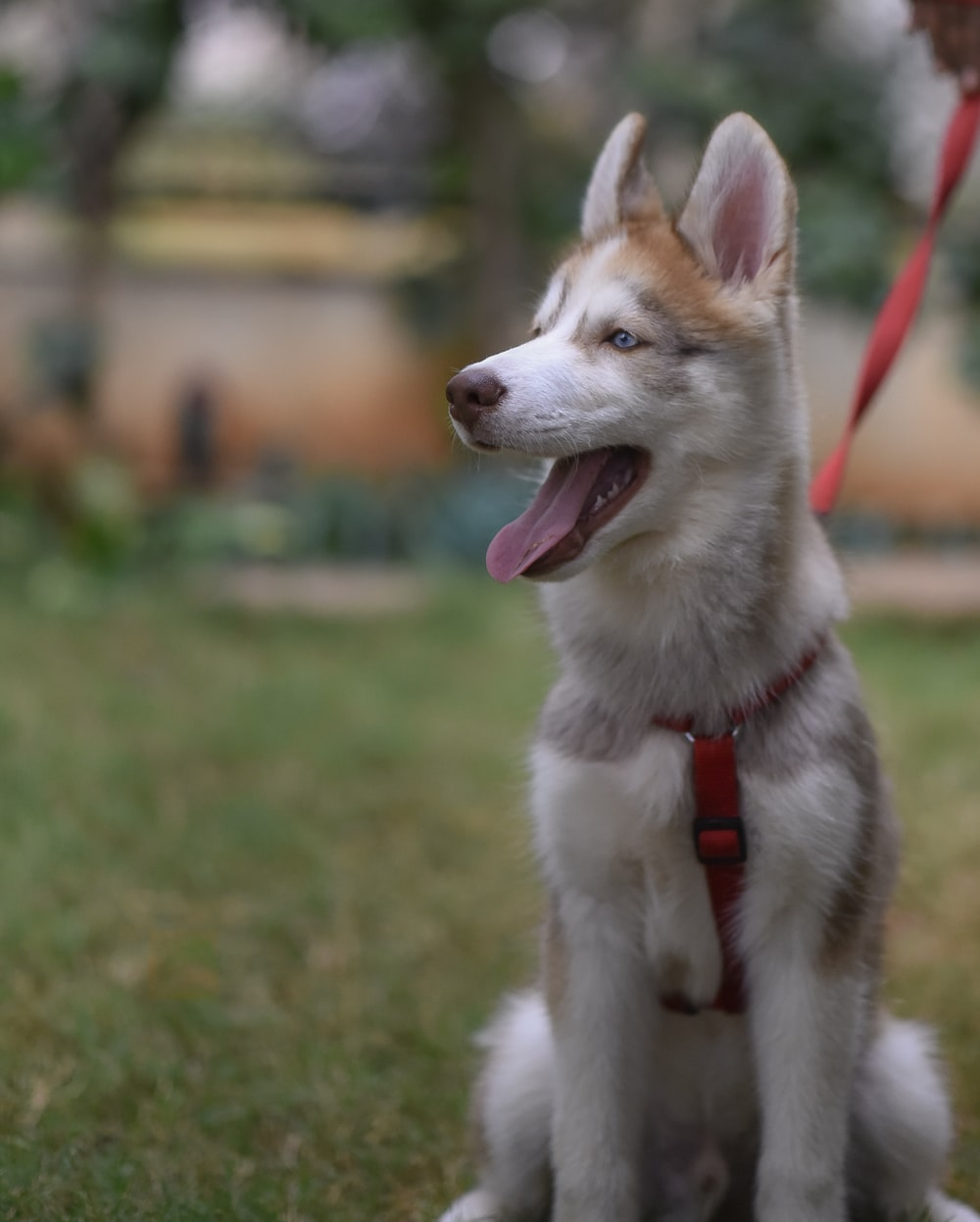 copper Siberian husky puppy close-up photography