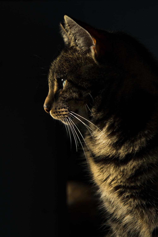 closeup photo of brown tabby cat