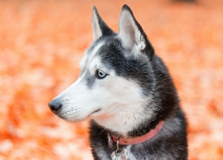 adult black and white Husky