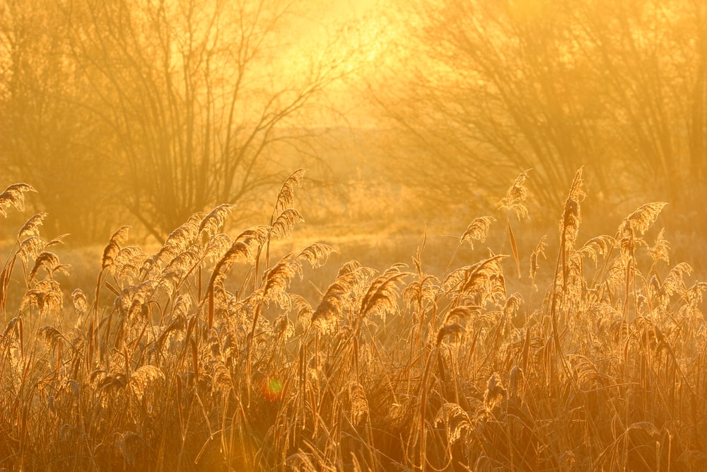 tall grasses during golden hour