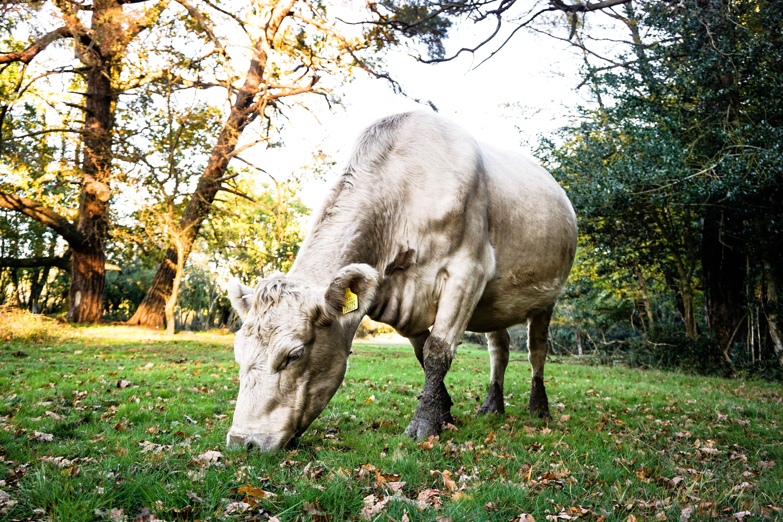 white cattle eating grass during daytime