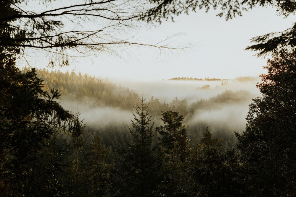 pine trees covered with fog