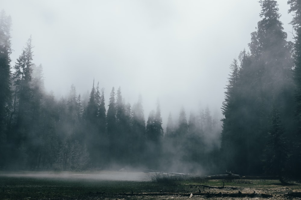 pine trees covered with fogs