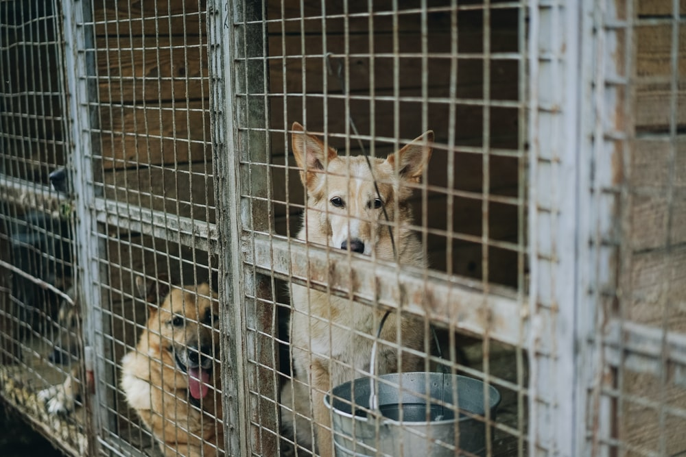 two short-coated brown and white dog on the cage