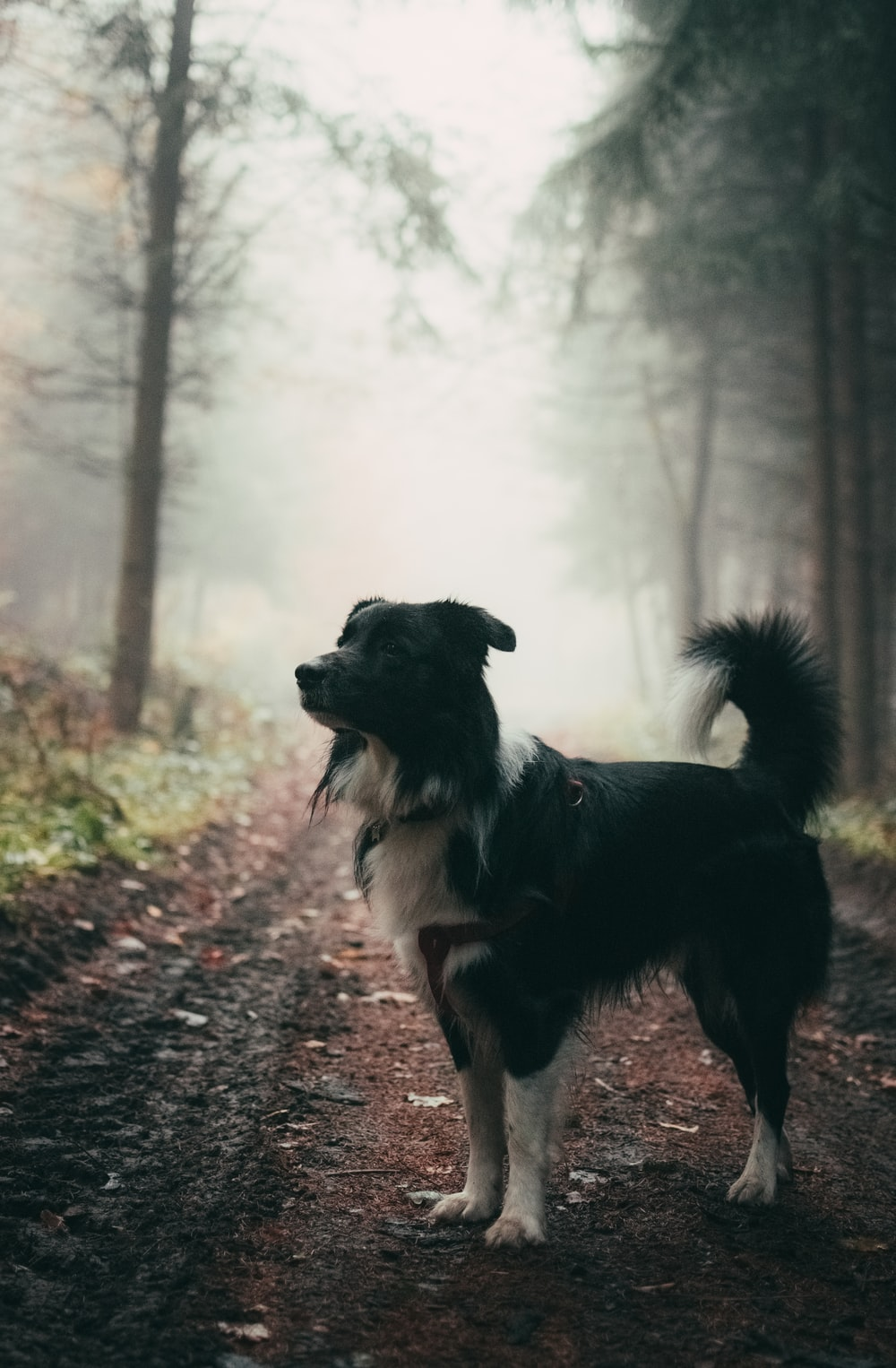 short-coated black and white dog standing outdoor