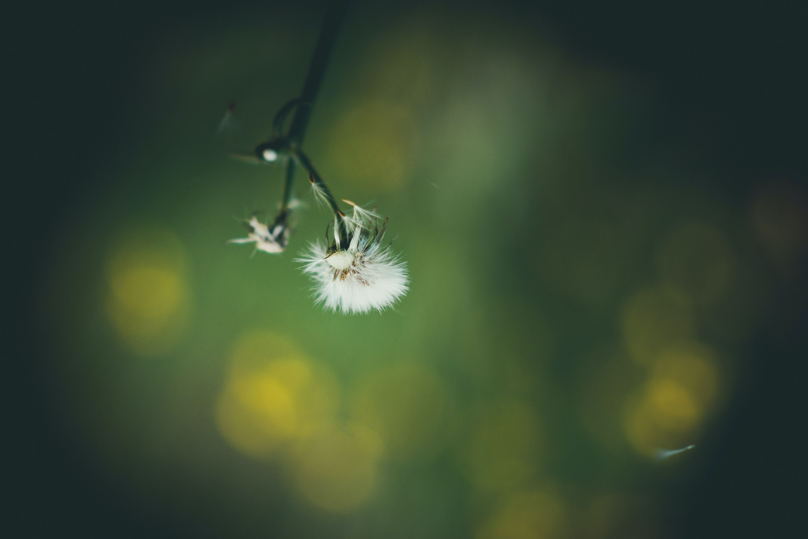 white flower seed head in bokeh photography