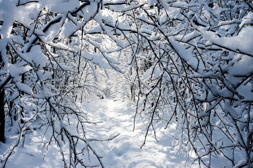 withered trees covered with snow