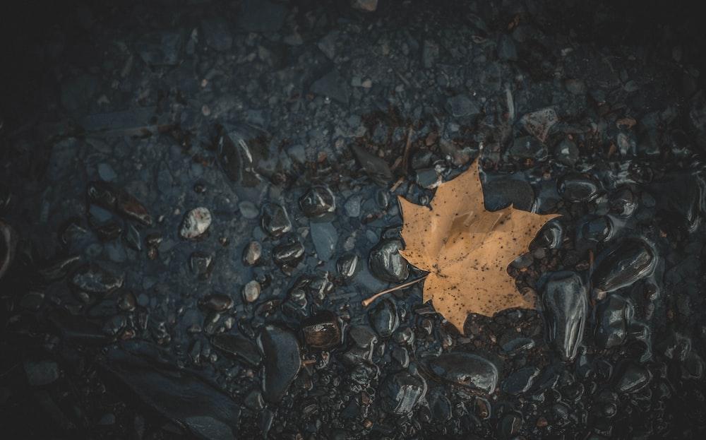 dried maple leaf