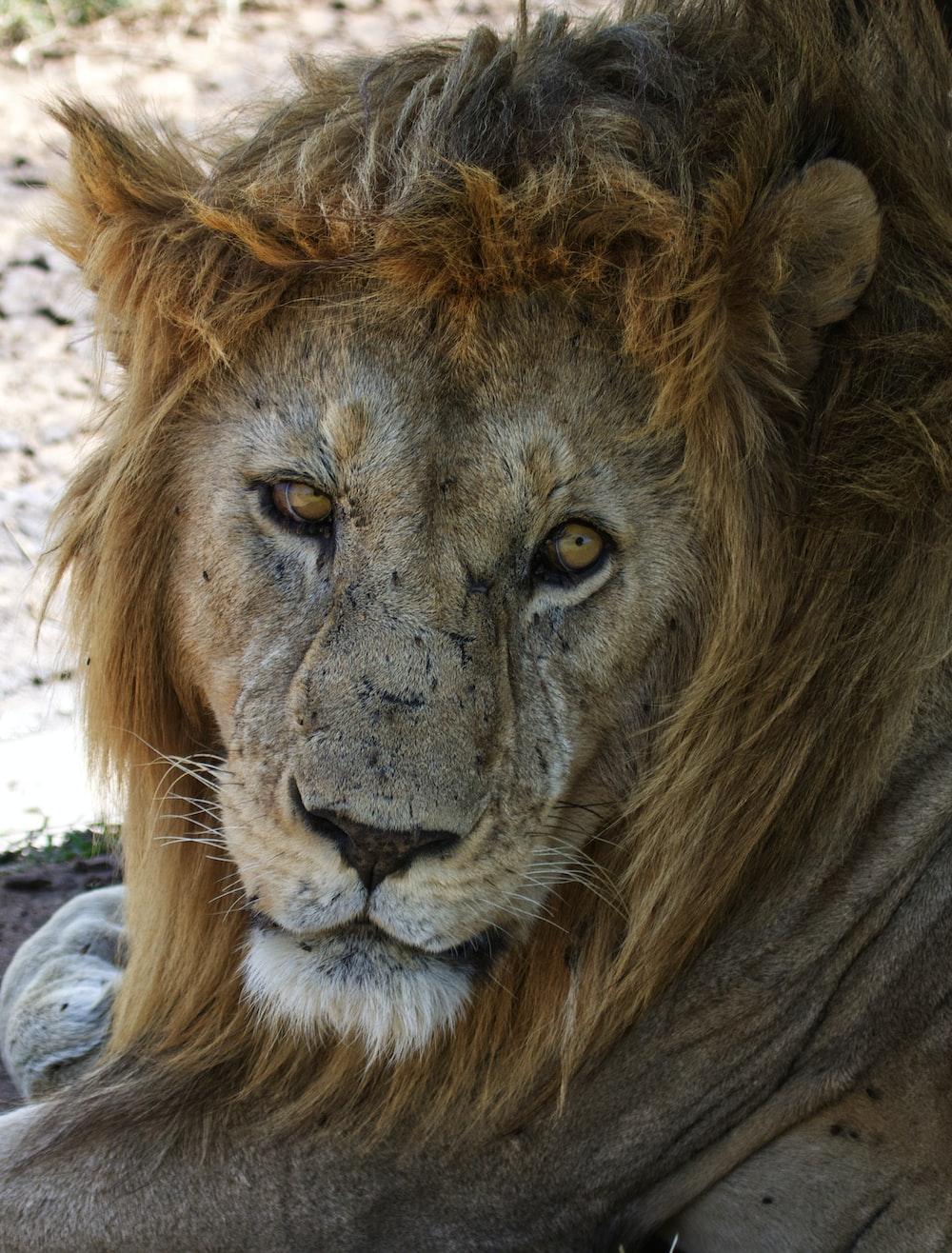 closeup photography of lion face