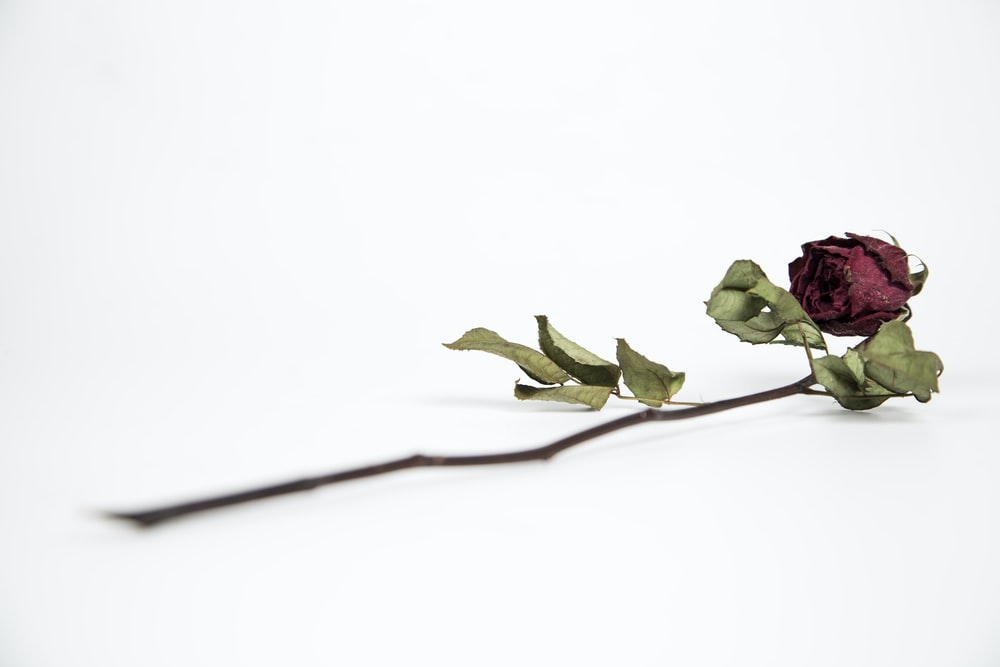 dying red rose on white surface