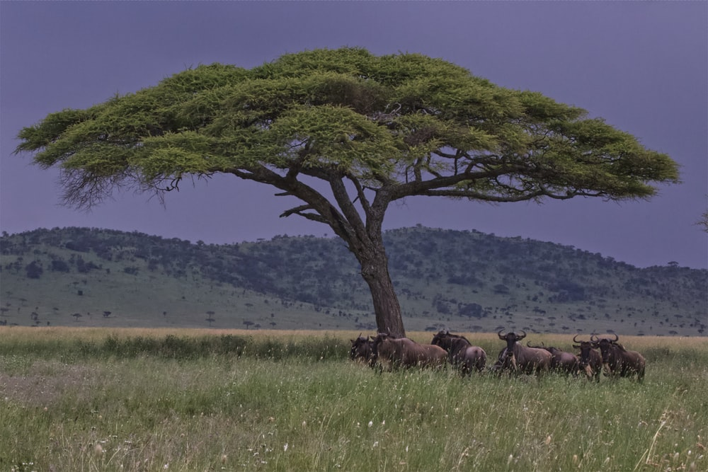 green-leafed tree near animals under clouded sky