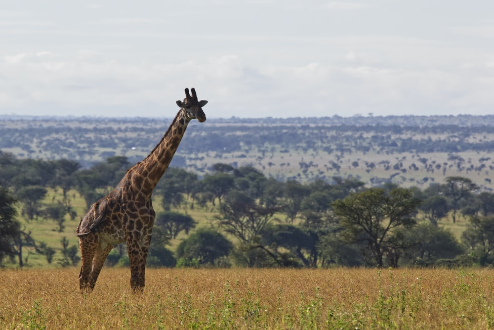 giraffe on plains during daytime