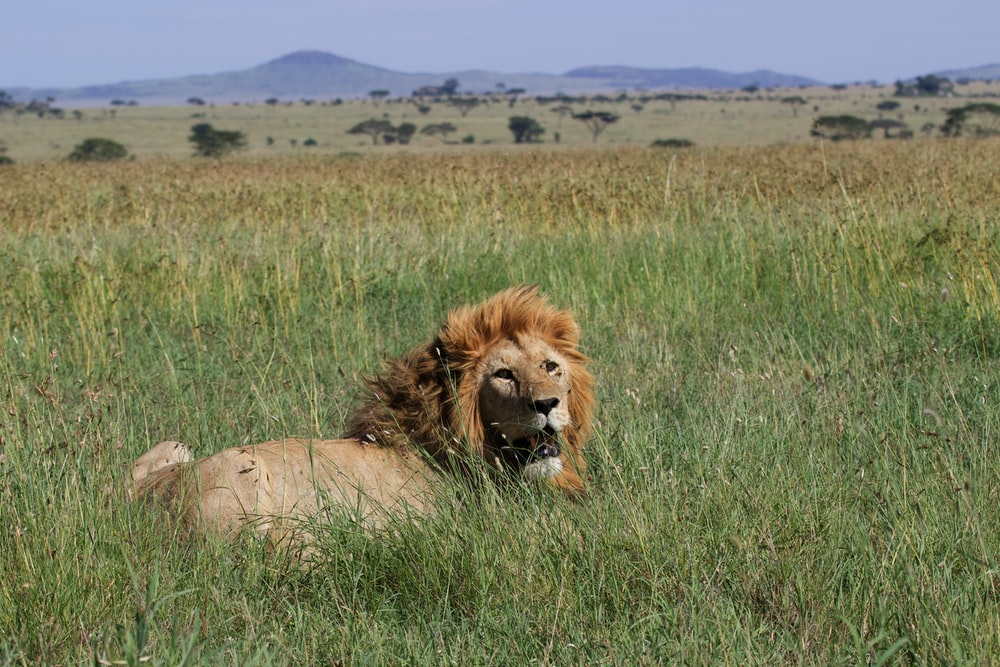 lion lying in grass