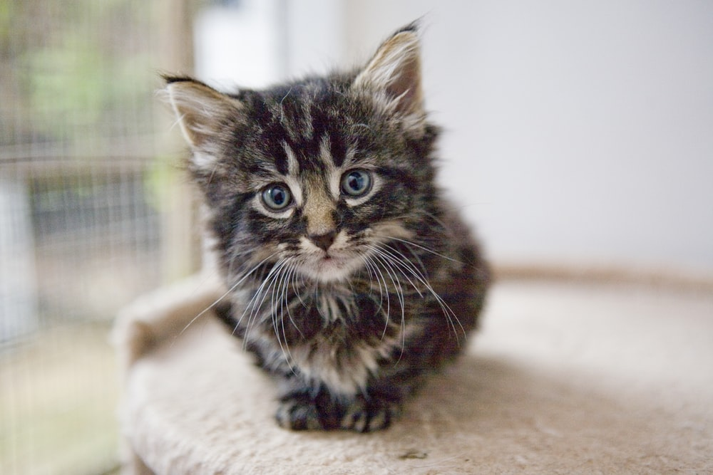 selective focus photography of brown tabby kitten on cat tree