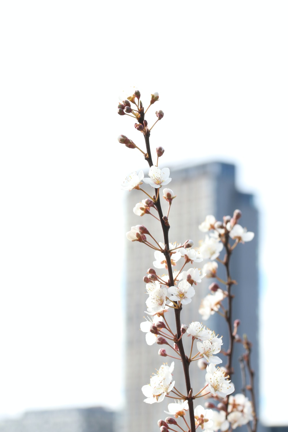 selective focus photography of white cherry blossoms during daytime