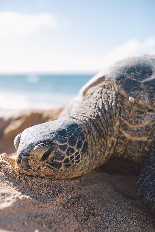 gray turtle on seashore
