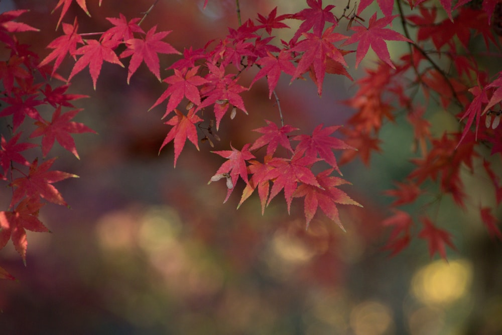 shallow focus photography of red-leafed tree