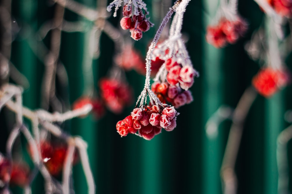 shallow focus photography of red fruits
