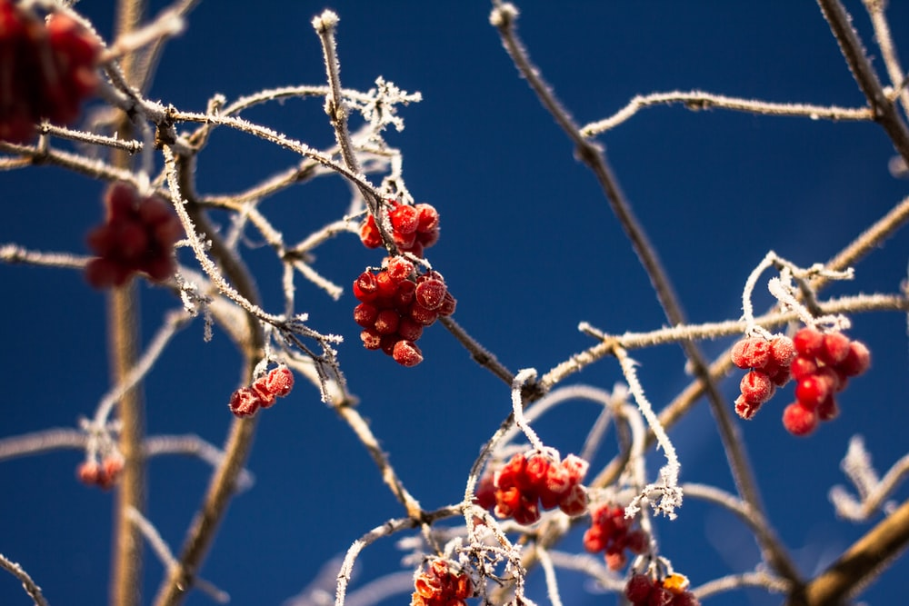 close-up photo of red berries