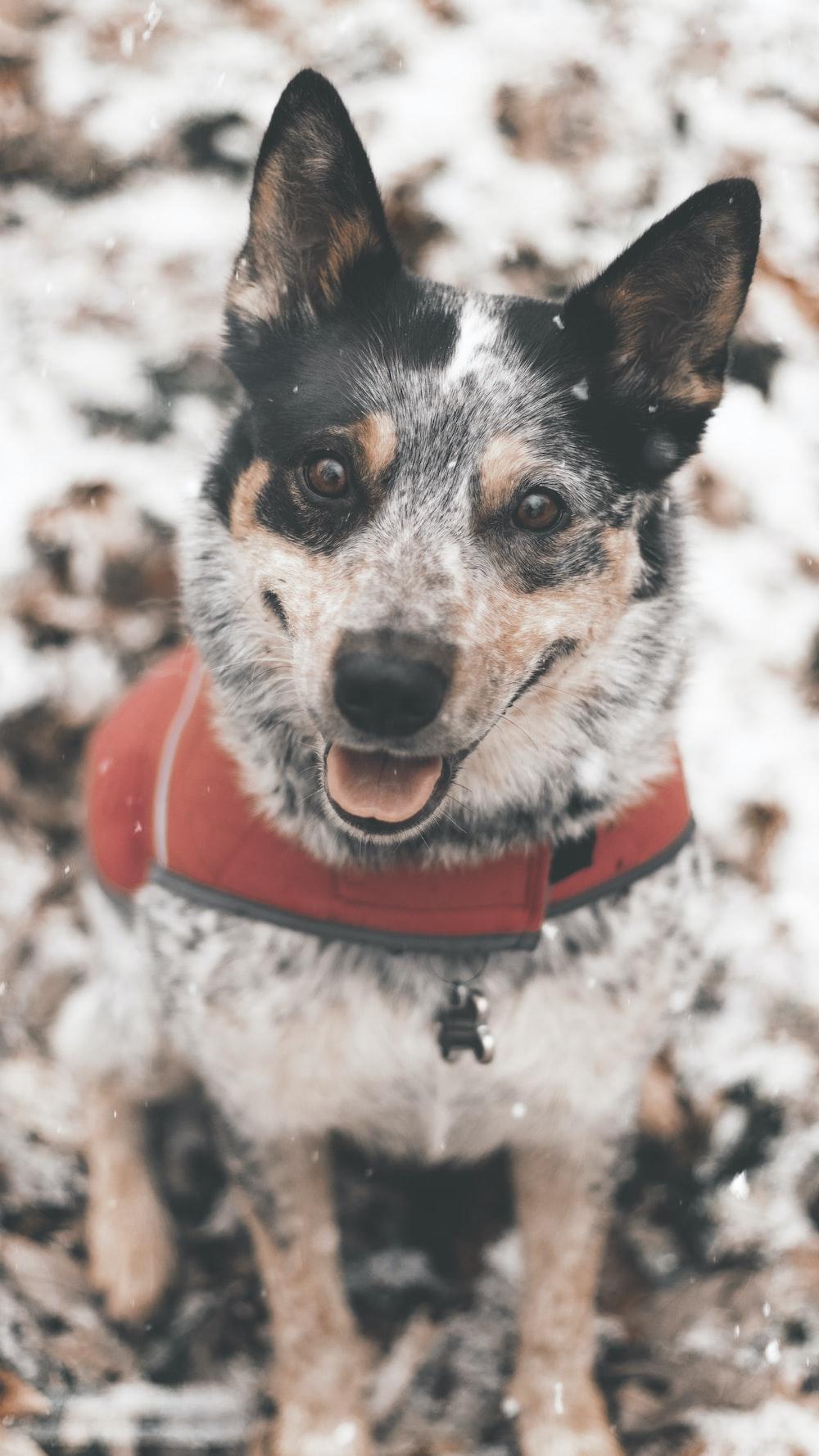 white and black short coated small dog