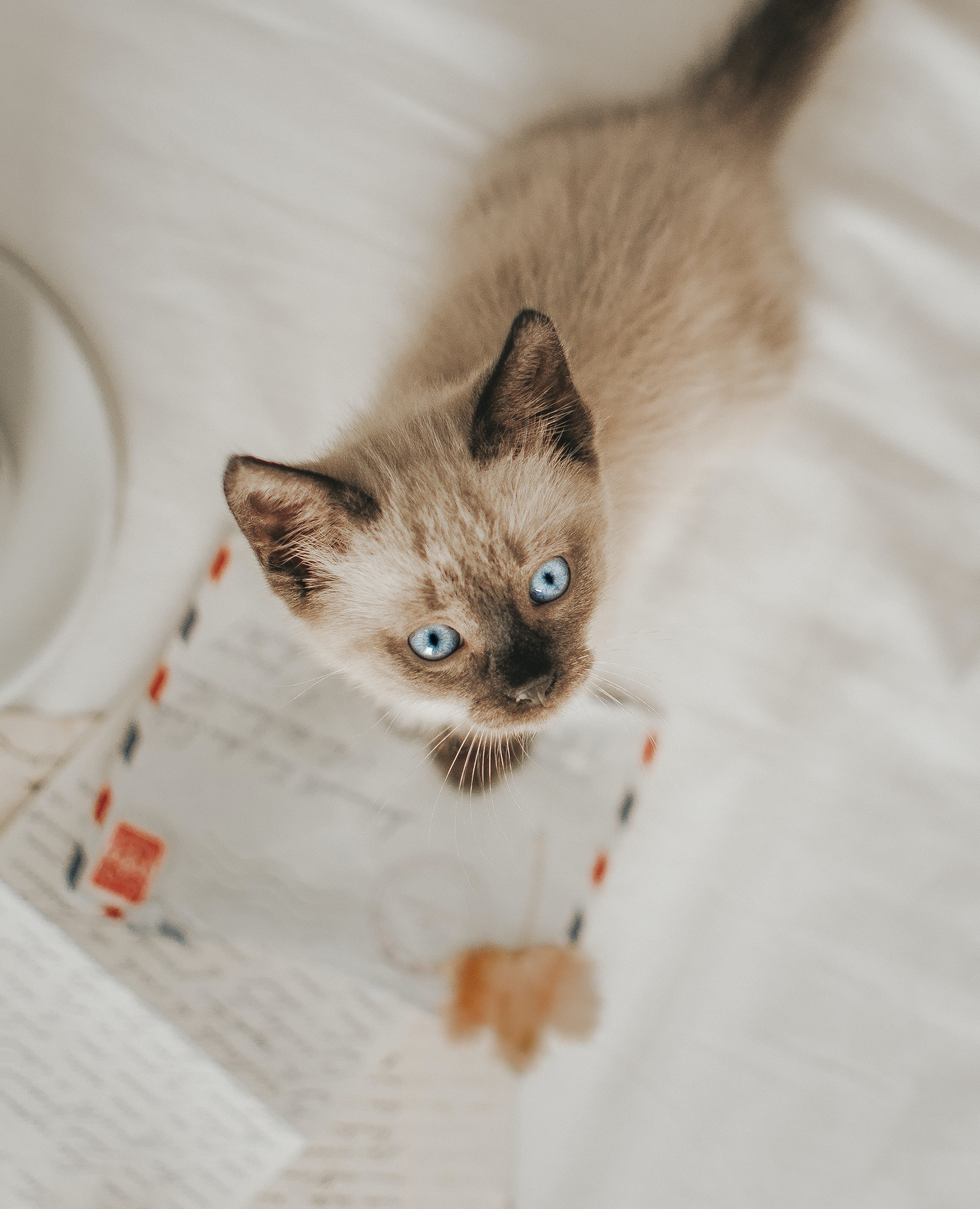 Siamese cat standing on white paper