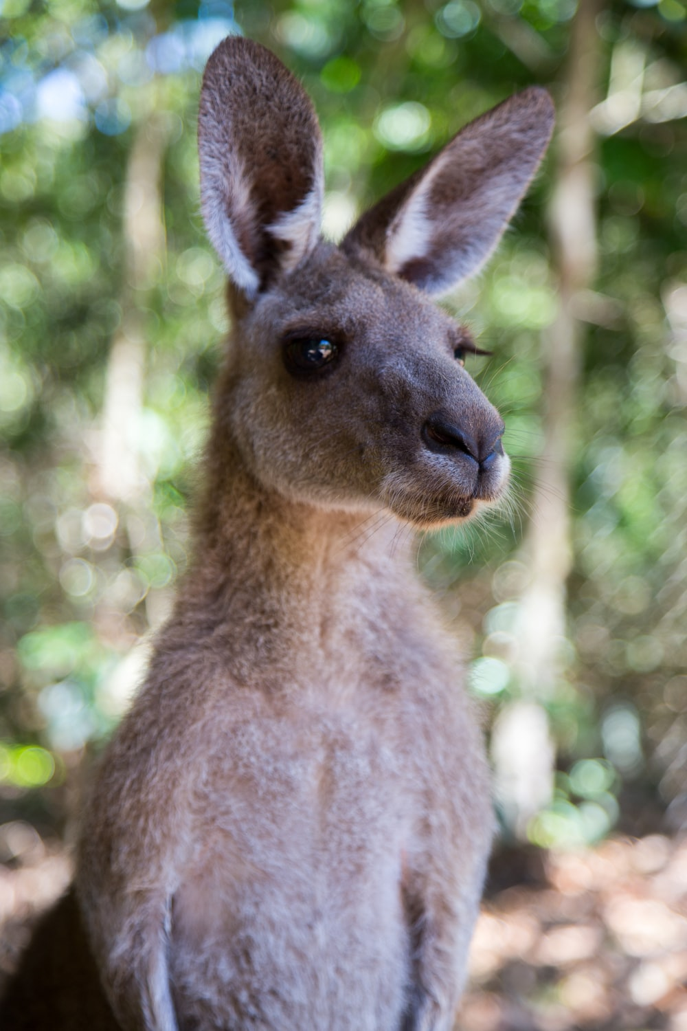 brown kangaroo